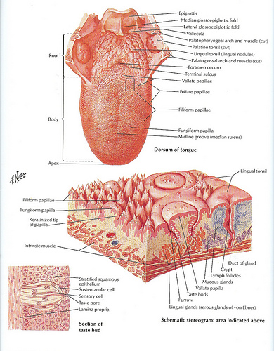 anatomical picture of the stomach lining